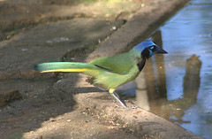 Green Jay - Cyanocorax yncas (az3) Tags: texas corvid