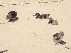 Sooty tern chicks on Michaelmas Cay (dracophylla) Tags: michaelmascay greatbarrierreef queensland australia
