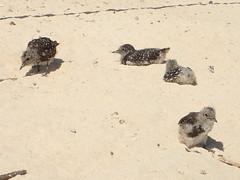Sooty tern chicks on Michaelmas Cay (dracophylla) Tags: michaelmascay greatbarrierreef queensland australia