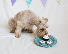 Quincy 1st Birthday (Cheryl3001) Tags: canon 28mm 70d dog schnauzer puppy first birthday pupcakes brown chocolate liver