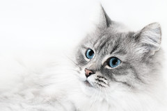 Nina (jinterwas) Tags: nevamasquerade cat kat animal dier feline white wit blauweogen blueeyes closeup portrait portret cc creativecommons onwhite witteachtergrond whitebackground freetouse highkey