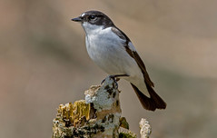 Pied Flycatcher.. (jefflack Wildlife&Nature) Tags: piedflycatcher flycatcher flycatchers birds avian wildlife wildbirds woodlands songbirds hedgerows glades forest countryside nature ngc
