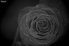 Macro Mondays - Rose Black and White (Mnicabjarjurado) Tags: rosa rose flor flower macro macromondays bn bw negro blancoynegro interior