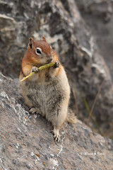 Want some? (Canon Queen Rocks (1,000,000 + views)) Tags: squirrel goldenmantledgroundsquirrel animals small cute eat markings wildlife wild nature