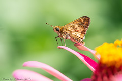 Peck's Skipper (BirdFancier01) Tags: nature garden flowers zinnia pink skipper