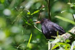 Merle noir (-Dop-) Tags: passeriformes bolland lige belgique turdusmerula