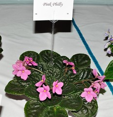 Pink Philly (MJI Photos (Mary J. I.)) Tags: avsminnesota avsm africanviolet africanvioletsociety flowers statefair mn minnesota minnesotastatefair2016 flowershow blooming houseplants show plants plantshow twincitiesgesneriads gesneriads saintpaulia gesneriad statefairfriday beginners luck pink pinkphilly