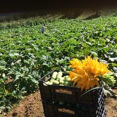 Orto e ortaggi di stagione. (esterinaeliseo1) Tags: green verde colture coltivare allaperto campania zucchini ortaggi orto