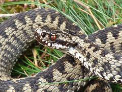 Adder (Peanut1371) Tags: adder snake reptile cannockchase nationalgeographicwildlife