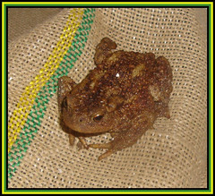 Toad Of Birch Hill (M E For Bees (Was Margaret Edge The Bee Girl)) Tags: toad cellar dark amphibian animal sack amputee