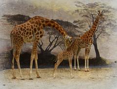 une journe au zoo n2 (kate053) Tags: girafes zoo zoodelaflche animal afrique