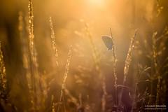 Dernires chaleurs (Tintin44 - Sylvain Masson) Tags: argus automne butterfly champ gold gramine k3 matin papillon pentax soleil sunrise tamron90 lahaiefouassire paysdelaloire france fr