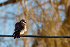 American Kestrel 8 (female) (LongInt57) Tags: blue trees red orange brown white canada black nature birds yellow rust bc okanagan wildlife powerlines cables wires electricity willows raptors hunters kestrels