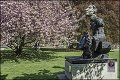 Bonn-Kirschbluete-30 (kurvenalbn) Tags: deutschland bonn pflanzen blumen nordrheinwestfalen frühling kirschbluete