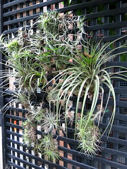 Gingie - small bromeliads (stitchingbushwalker) Tags: opengardens gingie