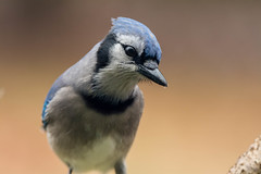 _JPO1383.jpg (JP.Owens) Tags: winter bird nikon unitedstates wildlife massachusetts bluejay telephoto uxbridge d7100 nikon300mmf4d