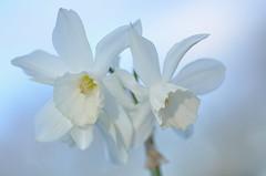 Spring Daffodils (pallab seth) Tags: park england flower macro london nature garden spring dof bokeh daffodil barking signofspring springgarden 2013 barkingpark tamronaf90mmf28dispam11macro nikond7000 tamronaf90mmf28dispam11macrolens