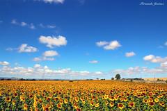 Girasoles (alanchanflor) Tags: canon girasol verano andalucía españa luz sol sunflowers ligh countryside sum summer sky nubes clouds landscape grass plant serenity