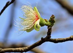kumbhi flower_Careya arborea_Lecythidaceae_Aarey_2014 03 30 (18) e (Shubhada Nikharge) Tags: tree native deciduous indigenous lecythidaceae aarey aareymilkcolony careyaarborea kumbhi aareycolony mumbaiflora nativetoindia floraofmumbai