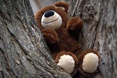teddy in a tree (Justin van Damme) Tags: bear brown black tree smiling animal lost outdoors nose grey stuffed garbage beige furry junk soft teddy away bark paws thrown
