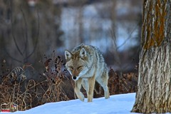 Wile E Coyote (YEGHugo) Tags: coyote winter canada nature canon wildlife rivervalley