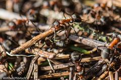BWI3_170_12. April 2015 (wilfriedpförtsch) Tags: umwelt formicarufa rotewaldameise hautfluegler insektspinne ultratagproc20062013coolcolours ultratagpro401de reichdertiere