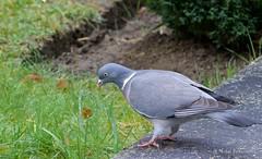 Pigeon Ramier (MBD photographies (Ile de France)) Tags: borderfx