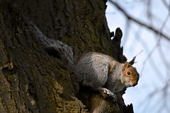 Sheltering Squirrel (jdco) Tags: tree spring squirrel may windy perch perched hiding 2015