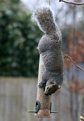 Naughty Cyril! (Raphooey) Tags: road uk england southwest west bird canon garden hearts eos back squirrel south sid feeder vale devon sunflower gb feed sidmouth cyril vally 70d primley