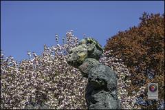 Bonn-Kirschbluete-31 (kurvenalbn) Tags: deutschland bonn pflanzen blumen nordrheinwestfalen frühling kirschbluete