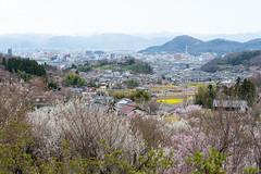 (GenJapan1986) Tags: 2015        japan fukushima spring  nikond610 cherryblossom