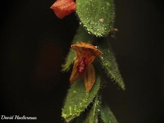 Enfoque sobre la flor de otra planta de Neooreophilus geminipetalus (distribución : Colombia y Ecuador alrededor de 1800 m snm) in situ , Cauca, Colombia