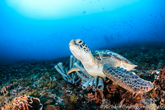 Marlin Hill.  What a surprise... (WhitcombeRD) Tags: ocean life sea fish green coral dark indonesia marine underwater turtle scuba diving tropical diver aquatic reef sponge gilimeno giliair mantapoint mantadive marlinhill