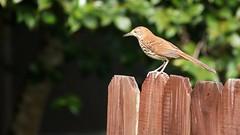 Brown Thrasher, Gulf Breeze FL, 04/16/15 (TonyM1956) Tags: tonymitchell santarosacounty gulfbreeze florida nature birds thrashers brownthrasher sonyphotographing sonyalphadslr