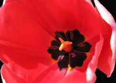 Red Macro (Puzzler4879) Tags: red macro tulips tulip pointandshoot springflowers redflowers canonpowershot redtulips macroflowers canonaseries canonphotography canonpointandshoot flowersonblack a580 canona580 canonpowershota580 powershota580 macrotulips
