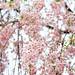 IMG_0474 新宿御苑 枝垂桜
