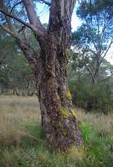 Eucalyptus stellulata, Polblue Swamp, Barrington Tops National Park, NSW, 07/02/15 (Russell Cumming) Tags: plant newsouthwales eucalyptus myrtaceae muswellbrook eucalyptusstellulata barringtontopsnationalpark polblueswamp