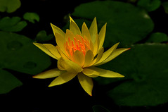 DSC_0039 Water Lily (tsuping.liu) Tags: nature ngc