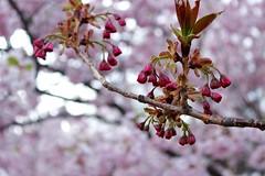 Untitled (Lauren Backus) Tags: pink flowers trees summer sky flower green boston spring esplanade