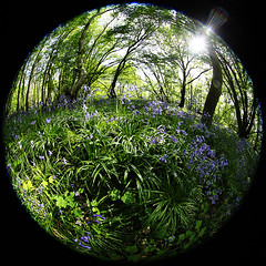 Day #2687 (cazphoto.co.uk) Tags: flowers trees sunshine bluebells flora stock fisheye flare project365 100515 canoneos5dmkiii canon815mmfisheyeeff4lusm beyond2557 hankinswood