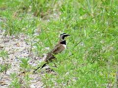 Horned Lark (ws.barbour) Tags: bird animal prairie lark hornedlark fortniobrara