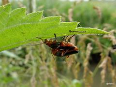 head over heals (manu8369) Tags: bug inlove