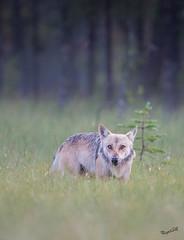 Wolf eyes (MatsOnni) Tags: susi harmaasusi wolf eyes alphamale canislupus swamp
