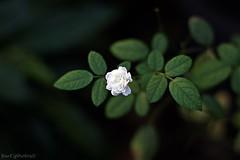 Mini Rosa (Bert'sPhotos) Tags: naturaleza white flower nature rose natureza flor rosa quintaflower branca verdeebranco minirosa minirosabranca