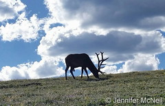 July 14, 2016 - Bull Elk grazing in RMNP. (Jennifer McNeil)