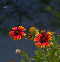 Blankets and Shadows (DGS Photography) Tags: florida destin beach gulfofmexico flower flowers wildflower blanketflower gaillardiapulchella red yellow shadow bud blossom petals hendersonstatebeachpark greatphotographers
