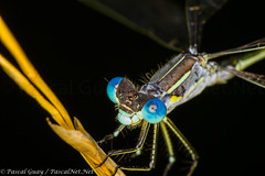 IMG_3318-1-1 (Pascal Guay) Tags: damselfly blue insect bug bugs insects macro closeup close up t2i canon 550d compound eyes yellow green legs mouth mandibula landed plant hay wings pascal net guay pascalnetnet pascalnet