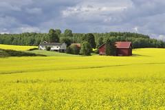 raps field in Vestby, Norway (Ingunn Eriksen) Tags: canolafield vestby norway raspker akershus fieldsofgold field landscape summer farmland