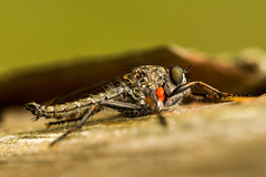 Asilidae (notastyy) Tags: macro insect flie robberflies animal wildlife nature closeup