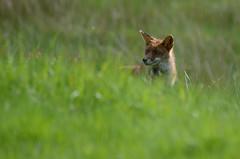 renard roux-1-5.jpg (matthieuduhau) Tags: faune animaux mamifre renardroux